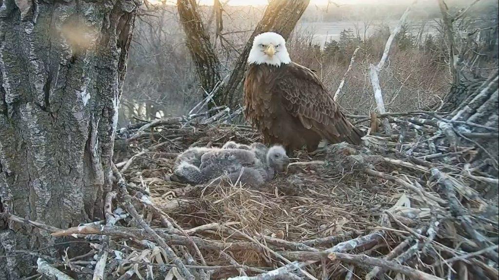 Decorah Eagles, Iowa, USA