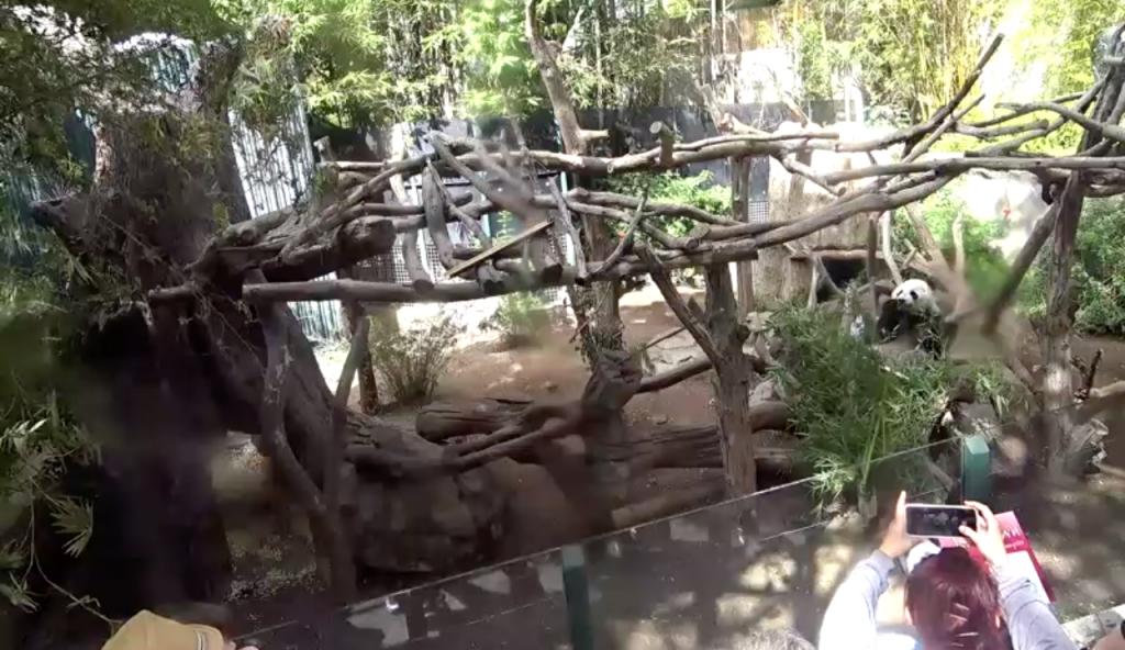 Panda Cam, San Diego Zoo, California, USA