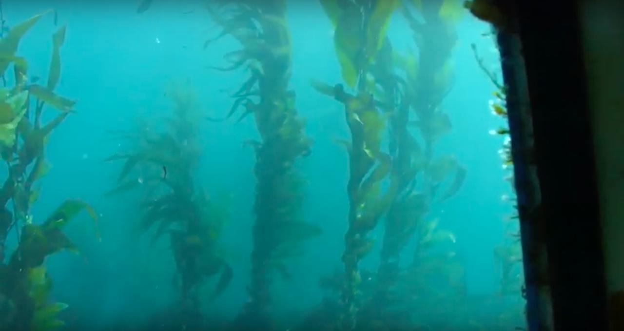 Channel Islands Kelp Forest, California, USA